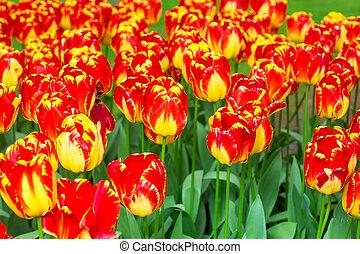 liget, tulipánok, csoport, piros