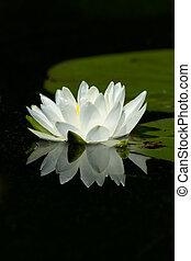 liliom, csendes, kipárnáz, visszaverődés, fehér, vad virág, víz