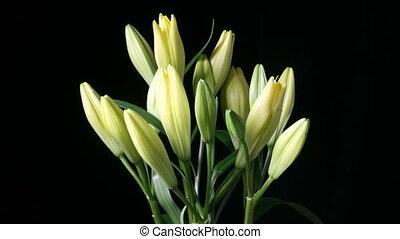 liliomok, csokor, virágzó