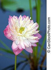 lotus virág, virágzó