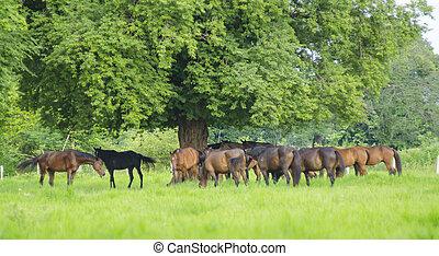 lovak, eredet, zöld kaszáló