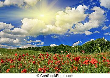 mák, eredet, napos nap, field.