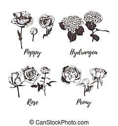mák, vektor, illustration., menstruáció, skicc, drawing., kéz, rózsa, hortenzia, gyűjtés, állhatatos, babarózsa