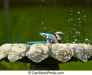 madár, bluejay