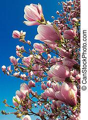 magnólia, április, virágzó, fa