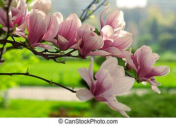 magnólia, elágazik, virágzó