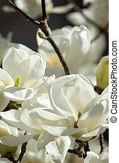 magnolia fa, virágzó