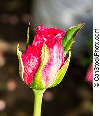 makro, rózsa