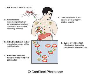 malária, fertőzés