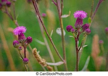 meadow., bogáncs, cirsium, kaszáló, csúszómászó, mező, arvense, flowers., virágzó, thistle.