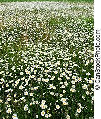 meadow., virágzó
