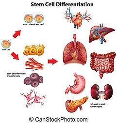 megakaszt sejt, differentiation, ábra