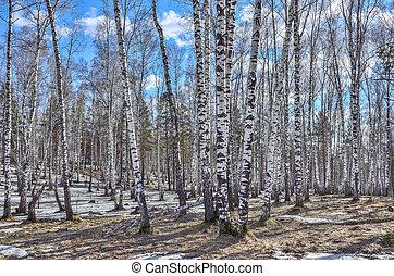 megható, eredet, napos, hó, korán, erdő, nyírfa, táj