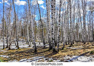 megható, hó, korán, táj, eredet, erdő, napos, nyírfa