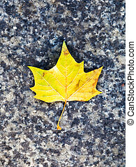 megkövez, levél növényen, útburkolat, sárga, juharfa
