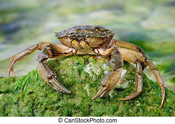megkövez, természetes, tengeri rák, víz, zöld, tenger, moha