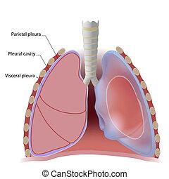 mellhártya-, lyuk, tüdő, mellhártya
