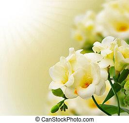 menstruáció, freesia, háttér, bokeh, virágzó, sárga, háttér., gyönyörű