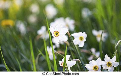 menstruáció, nárciszok, kert, gyönyörű