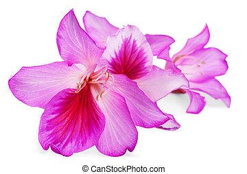 menstruáció, rózsaszínű, gyönyörű