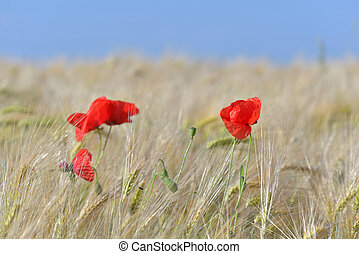 menstruáció, virágzó, mező, ég, gabonanemű, gyönyörű, kék, piros, alatt, mákok
