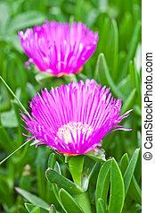 mesembryanthemum, százszorszép, menstruáció, két, rózsaszínű