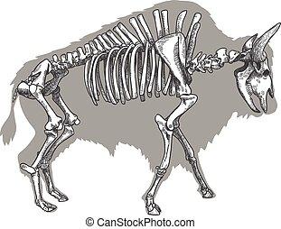 metszés, bölény, csontváz, ábra