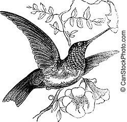 metszés, colubris, szüret, ruby-throated, archilochus, vagy, kolibri