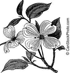 metszés, cornus, szüret, florida, somfa, virágzás, vagy