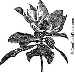 metszés, grandiflora, szüret, magnólia, déli, vagy