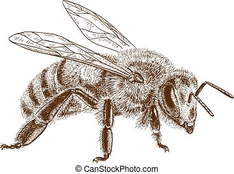 metszés, méh, méz, ábra