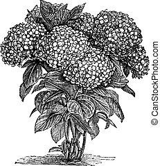 metszés, macrophylla, bigleaf, hortenzia, szüret, vagy