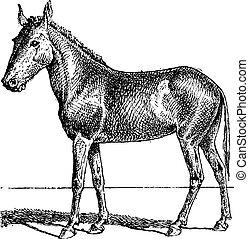 metszés, szüret, mulus, csökönyös ember, vagy, equus