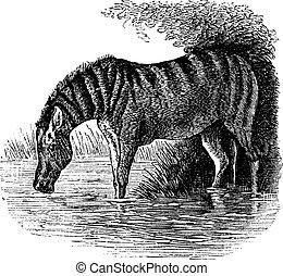 metszés, szamár, szüret, asinus, vagy, equus