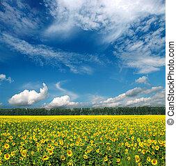 mező, alatt, ég, napraforgók