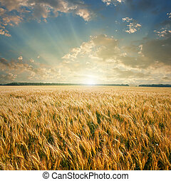 mező, búza, napnyugta