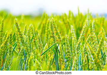 mező, búza, zöld