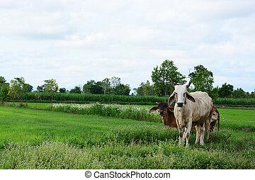 mező, friss, fű, tehén