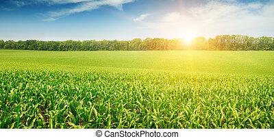 mező, gabonaszem, felett, napkelte