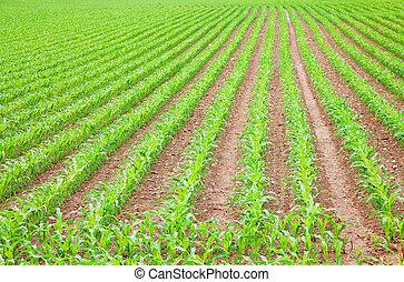 mező, gabonaszem