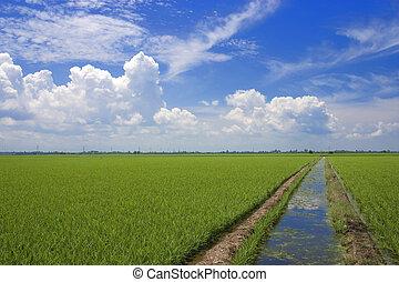 mező, hántolatlan rizs