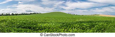 mező, körképszerű, zöld, szójabab, fénykép