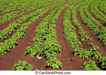 mező, krumpli