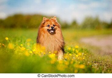 mező, kutya, pomerániai