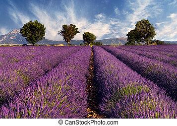 mező, levendula, provence, franciaország
