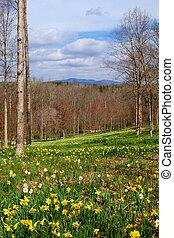 mező, nárciszok, virágzó