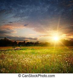 mező, napnyugta, camomile