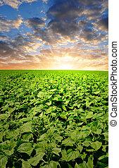 mező, napnyugta, napraforgó