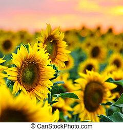 mező, napraforgók, napnyugta