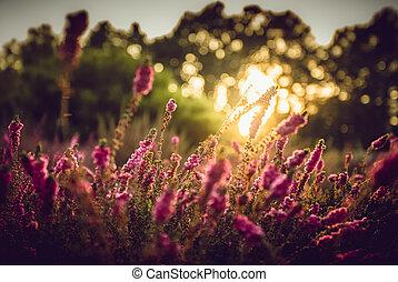 mező, provence, levendula, napnyugta